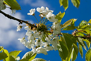 Cherry (Prunus avium) blossom in spring with young leaves against a blue sky with white cloud, Devon, May  -  Nigel Cattlin