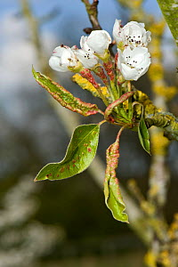 Early blisters of Pear leaf blister mite (Eriophyes pyri) red on young pear foliage and flower peduncles in spring, Berkshire, April  -  Nigel Cattlin