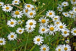 Scentless mayweed, (Tripleurospermum inodorum) a weed and secondary pest host flowering, with flower beetles and other insects, Berkshire, July  -  Nigel Cattlin