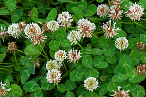 Flowering white clover, Trifolium repens, pasture and forage crop for nitrogen fixation in grassland, Berkshire, July  -  Nigel Cattlin