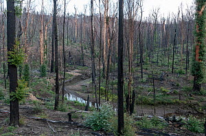 Martins Creek and surrounds approx 5 months after 2019/20 bushfires devastated the area. The edge of the creek originally had wet temperate rainforest along its edge, bounded by wet and damp forest. M...  -  Doug Gimesy