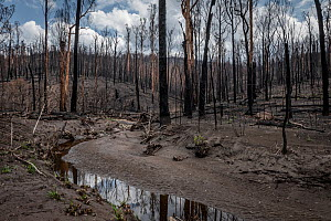Martins Creek and surrounds after 2019/20 bushfires devastated the area. Until the fires, the edge of the creek had wet temperate rainforest along its edge, bounded by wet and damp forest. Martins Cre...  -  Doug Gimesy