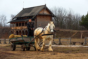 Percheron gelding pulling hay cart, man standing in cart. Traditional wooden building in background, Kievan Rus Park, a reconstruction of the former capital Rus. Ukraine, February 2020.  -  Kristel Richard