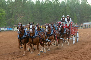 Two cowboys drive a traditional wagon, pulled by six brabant draft/heavy horses, in a six-up hitch formation, during the Draft Horse Classic Show, Grass Valley, California, USA  -  Kristel Richard
