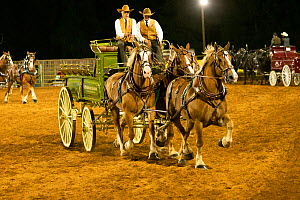 Two cowboys drive a traditional wagon, pulled by three brabant draft/heavy horses, in an unicorn hitch formation, during the Draft Horse Classic Show, Grass Valley, California, USA  -  Kristel Richard