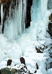 Bald eagle (Haliaeetus leucocephalus), two perched on rocks in front of frozen waterfall. Alaska, USA, February.  -  Danny Green