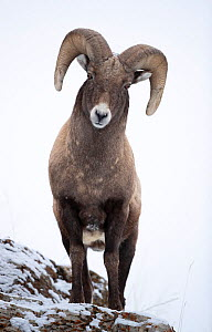 Big horn sheep (Ovis canadensis) male looking down from snowy ledge, portrait. Yellowstone National Park, USA, January.  -  Danny Green