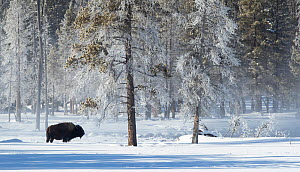 Bison (Bison bison) in snow, at woodland edge with frost covered trees. Yellowstone National Park, USA, January 2020.  -  Danny Green
