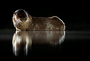 European river otter (Lutra lutra) reflected in water at night. Lincolnshire, England, UK. July.  -  Danny Green