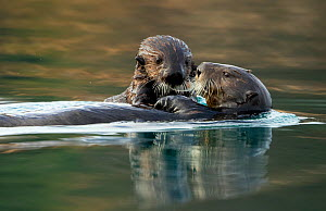 Sea otter (Enhydra lutris) female and pup. Alaska, USA, February.  -  Danny Green