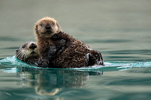 Sea otter (Enhydra lutris) female and pup playing. Alaska, USA, February.  -  Danny Green