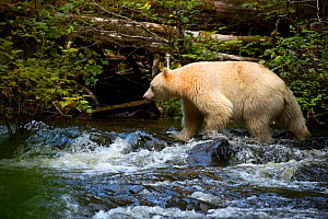 Kermode bear (Ursus americanus kermodei) hunting for Salmon in stream. British Columbia, Canada, September.  -  Danny Green