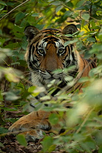 Bengal tiger (Panthera tigris tigris) male resting in undergrowth, portrait. Bandhavgarh National Park, India, December.  -  Danny Green