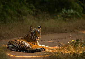 Bengal tiger (Panthera tigris tigris) resting on track. Bandhavgarh National Park, India, December.  -  Danny Green