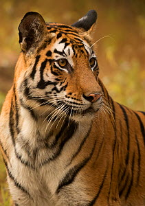 Bengal tiger (Panthera tigris tigris) female, portrait. Bandhavgarh National Park, India, December.  -  Danny Green