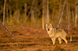 Wolf (Canis lupus) standing at woodland edge. Finland, April.  -  Danny Green