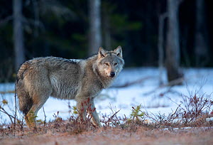 Wolf (Canis lupus) standing in snow at woodland edge. Finland, April.  -  Danny Green