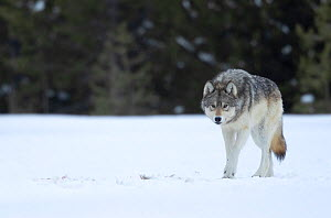 Wolf (Canis lupus) walking in snow, at woodland edge. Yellowstone National Park, USA. January.  -  Danny Green