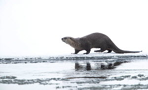 North American river otter (Lontra canadensis) on snow covered bank, reflected in icy water. Yellowstone National Park, USA, January.  -  Danny Green