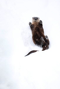 North American river otter (Lontra canadensis) on back, rolling on snow bank. Yellowstone National Park, USA, January.  -  Danny Green