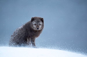 Arctic fox (Vulpes lagopus) resting in snow. Hornstrandir Nature Reserve, Iceland, February.  -  Danny Green