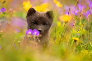 Arctic fox (Vulpes lagopus) cub in meadow, portrait. Hornstrandir Nature Reserve, Iceland, July.  -  Danny Green