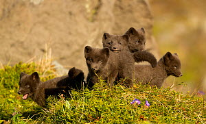 Arctic fox (Vulpes lagopus) cubs playing. Hornstrandir Nature Reserve, Iceland, July.  -  Danny Green