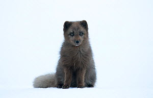 Arctic fox (Vulpes lagopus) blue morph, portrait in snow. Hornstrandir Nature Reserve, Iceland, March.  -  Danny Green