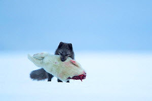 Arctic fox (Vulpes lagopus) carrying Ringed seal (Pusa hispida) pup prey in mouth. Svalbard, Norway, April.  -  Danny Green