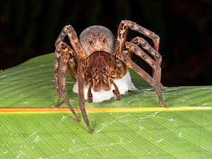 Venomous Wandering spider (Phoneutria sp), a relative of the dangerous Brazillian Banana Spider, attaching its eggs in a silk nest to a leaf. This individual is missing its right front leg. Yasuni Nat...  -  Morley Read