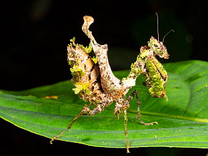 Lichen mimic mantis. While easily visible on this leaf, it is well camouflaged among moss and lichens on tree trunks. Yasuni National Park, November 2018  -  Morley Read