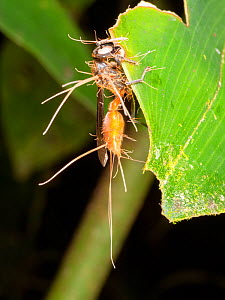 Cordyceps fungus parasitizing a wasp. The fungus alters the behaviour of its host before killing it, ensuring the insect will die in a high place, enabling the spores to be spread easily. Yasuni Natio...  -  Morley Read