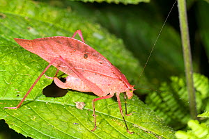 Pink katydid (Tettigoniidae). Katydids are usually green enabling them to remain camouflaged in leafy vegetation. Pink coloured individuals occur in many species but are rare. Los Cedros Biological Re...  -  Morley Read