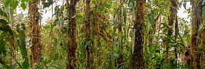 Tree trunks in montane rainforest covered with moss, epiphytes and Philodendron vines. At 2200m in elevation. Cordillera de Toisan, Los Cedros Biological Reserve, Imbabura Province, Ecuador. Digitally...  -  Morley Read