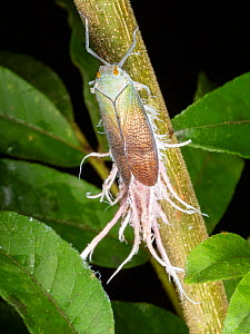 Wax-tailed bug (Pterodictya reticularis) in the rainforest understory, Yasuni National Park, Ecuador, July 2018.  -  Morley Read