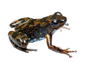 Confusing rocket frog (Ectopoglossus confusus). Endangered species, individual part of rediscovered population. Population under threat as it lies within a mining concession. Rio Junin, Imbabura Provi...  -  Morley Read