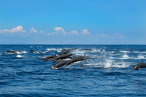 Spinner dolphin (Stenella longirostris) pod stampede, porpoising away from Toothed whale pod. Pacific Ocean, Southern Costa Rica.  -  Doug Perrine