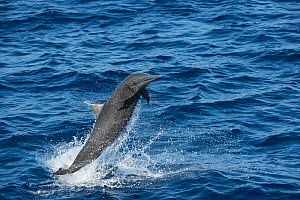 Spinner dolphin (Stenella longirostris) leaping. Pacific Ocean, Southern Costa Rica.  -  Doug Perrine