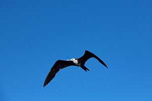 Magnificent frigate bird (Fregata magnificens) in flight. Over Pacific Ocean, Southern Costa Rica.  -  Doug Perrine