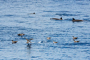 Pink-footed shearwater (Ardenna creatopus) flock and Eastern Pacific spinner dolphin (Stenella longirostris) pod. The two species feed on the same small fish and often travel together. Pacific Ocean,...  -  Doug Perrine