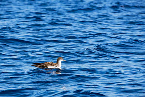 Pink-footed shearwater (Ardenna creatopus) floating on water surface. Pacific Ocean, Southern Costa Rica.  -  Doug Perrine
