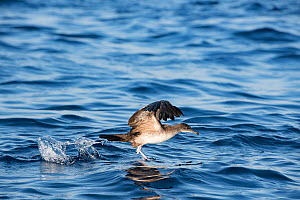 Pink-footed shearwater (Ardenna creatopus) taking off from water surface. Pacific, Ocean, Southern Costa Rica.  -  Doug Perrine