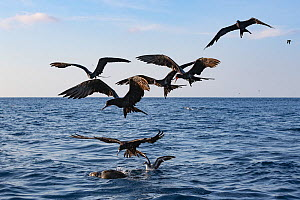 Magnificent frigate bird (Fregata magnificens) flock and Pink-footed shearwater (Ardenna creatopus) gathering around Olive ridley turtle (Lepidochelys olivacea) to feed on Bait fish hiding under it. P...  -  Doug Perrine