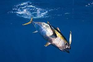 Yellowfin tuna (Thunnus albacares) hooked on lure with treble hook. Pacific Ocean, Cabo San Lucas, Baja California, Mexico. 2009.  -  Doug Perrine