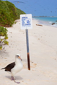 Laysan albatross (Phoebastria immutabilis) walking next to closure sign on beach, many albatrosses in sky. Beach closed by US Fish and Wildlife Service to protect wildlife. Sand Island, Midway Atoll N...  -  Doug Perrine
