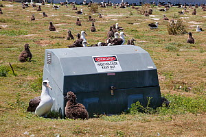Laysan albatross (Phoebastria immutabilis) breeding colony, adult rearing chick next to electrical equipment box. Sand Island, Midway Atoll National Wildlife Refuge, Papahanaumokuakea Marine National...  -  Doug Perrine