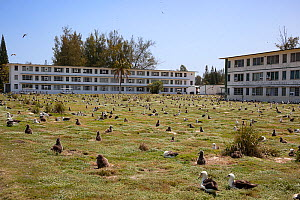 Laysan albatross (Phoebastria immutabilis) breeding colony with many chicks, in grassland bordered by former military dormitories, now worker housing. Sand Island, Midway Atoll National Wildlife Refug...  -  Doug Perrine
