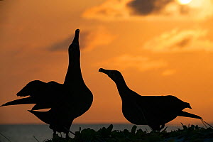 Black-footed albatross (Phoebastria nigripes) pair in courtship dance, one sky pointing. Silhouetted on coast at sunset. Sand Island, Midway Atoll National Wildlife Refuge, Papahanaumokuakea Marine Na...  -  Doug Perrine