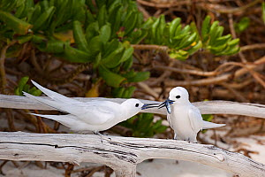 White tern (Gygis alba candida) pair, female with juvenile flying fish presented by mate as nuptial gift. Sand Island, Midway Atoll National Wildlife Refuge, Papahanaumokuakea Marine National Monument...  -  Doug Perrine