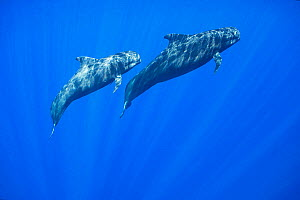 Short-finned pilot whale (Globicephala macrorhynchus) adult and juvenile in dappled light. Pacific Ocean, Kona, Hawaii, USA.  -  Doug Perrine
